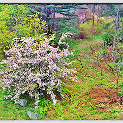 "A feral apple tree in bloom next to a trail in Odiorne Point State Park in Rye, New Hampshire. iPhone photo - suitable for print reproduction up to 8"" x 12""."