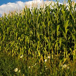 A corn field on a  farm in Pepperell, Massachusetts.