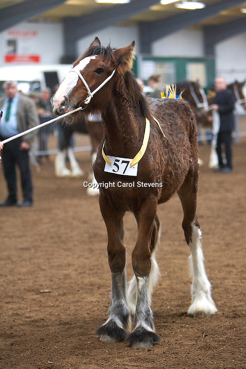 North West and Wales Shire Foal Society <br /> Show 2012<br /> Mr F Cosgrove &amp; Son's Hainton Tanker<br /> f   05/05/12<br /> Sire   Hainton Eardswick Ernie<br /> Dam   Bowley Annabelle
