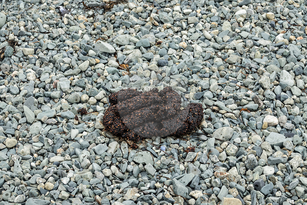 Fresh brown bear scat on the beach along the Cook Inlet at the McNeil River State Game Sanctuary on the Kenai Peninsula, Alaska. The remote site is accessed only with a special permit and is the world's largest seasonal population of grizzly bears in their natural environment.