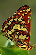 Side view of butterfly on leaf and beautiful cream, black and rust wing pattern.