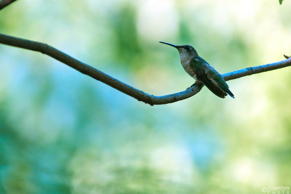 Resting Ruby Throated Hummingbird. (Archilochus colubris)