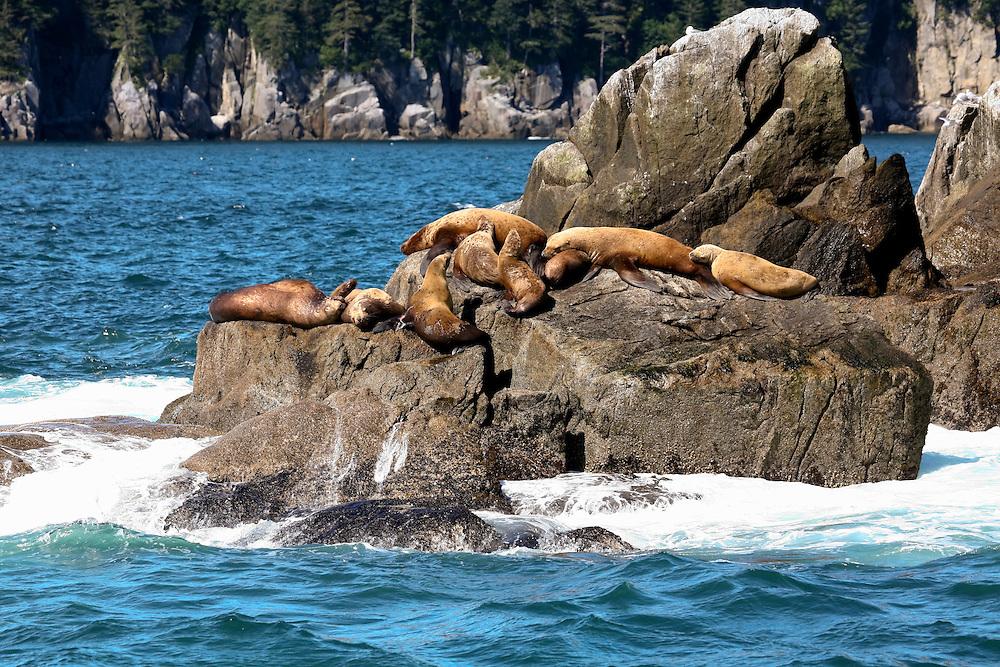 Sea Lions Basking on Rocks in Valdez, Alaska, USA