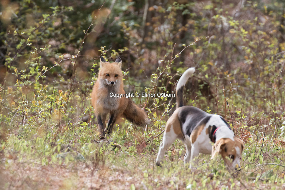 Red Fox chasing beagle