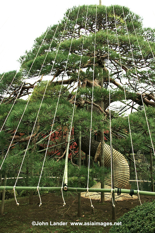 """During winter months, many trees in Japanese gardens sprout conical structures called Yukitsuri or """"snow suspenders"""".  The practice of Yukitsuri or Yuki-tsuri is to protect trees from snow damage in areas of Japan that get lots of snow.  The most common technique of preparing yuki-tsuri is by putting up bamboo poles near the trunk of the tree, then extending ropes from the top of the pole to be attached to the branches. The ropes prevent the branches from sagging  under the weight of the snow.  The construction of yuki-tsuri is usually done in December, and though it may look somewhat like a """"Christmas decoration"""" it has nothing to do with Christmas though the practice occurs in December."""