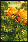Maidenhead, Berkshire, UK.  Orange, Roses in Bloom <br /> <br /> General view. Boulters, Gardens. Boulters Lock, Raymill Island. River Thames, <br /> <br /> <br /> Wednesday. 24.05.2017 <br /> <br /> © Peter SPURRIER,<br /> <br /> Contax G2. 28/45/90 mm len's. Rollei Chrome 200