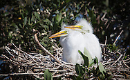 Baby great egrets perch on mangrove trees on Cat Island, a barrier island in Barrataria Bay in Plaquimens Parish. The barrier islands in the Gulf of Mexico are threaten by coastal erosion that was sped up  since  the BP oil spill which killed the grass and mangrove trees which hold the islands together. Plaquimens Parish started it's own coastal restoration project for Cat Island, a bird rookery for the pelican ahead of the  Restore the Coast Act for fear there would be too little of the island left to save.