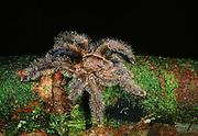Tarantula<br />Theraphosidae<br />Yasuni National Park,  Amazon Rain Forest, ECUADOR<br />South America