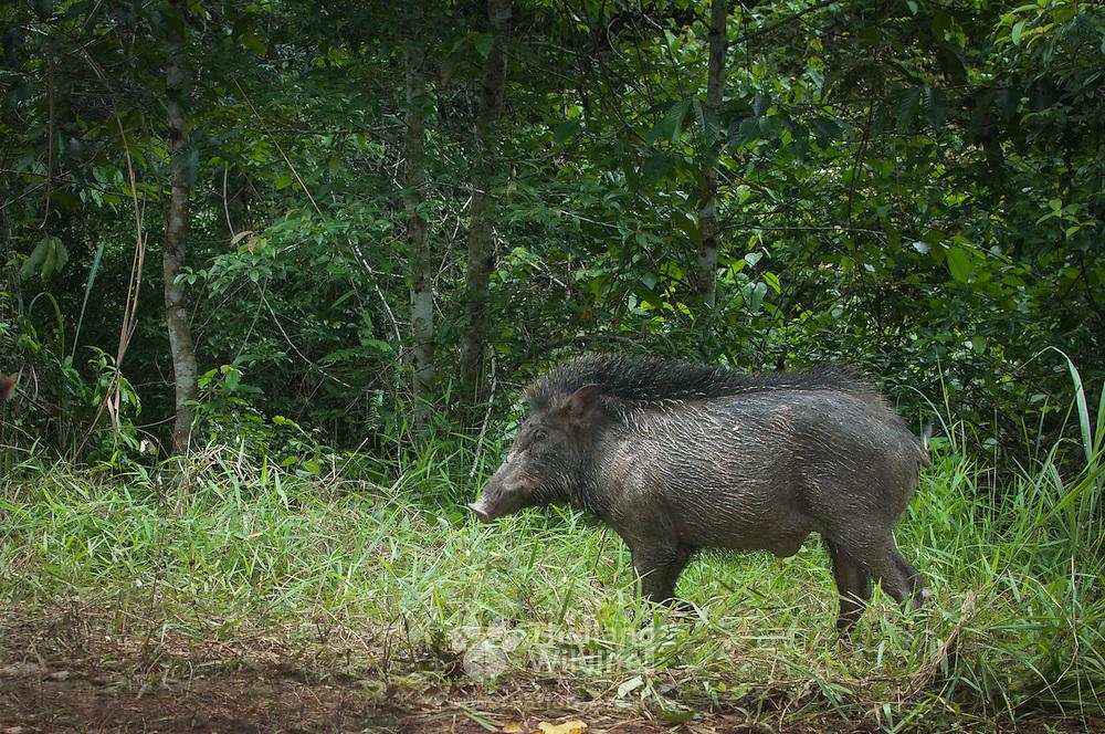 Wild boar ( Sus scrofa)