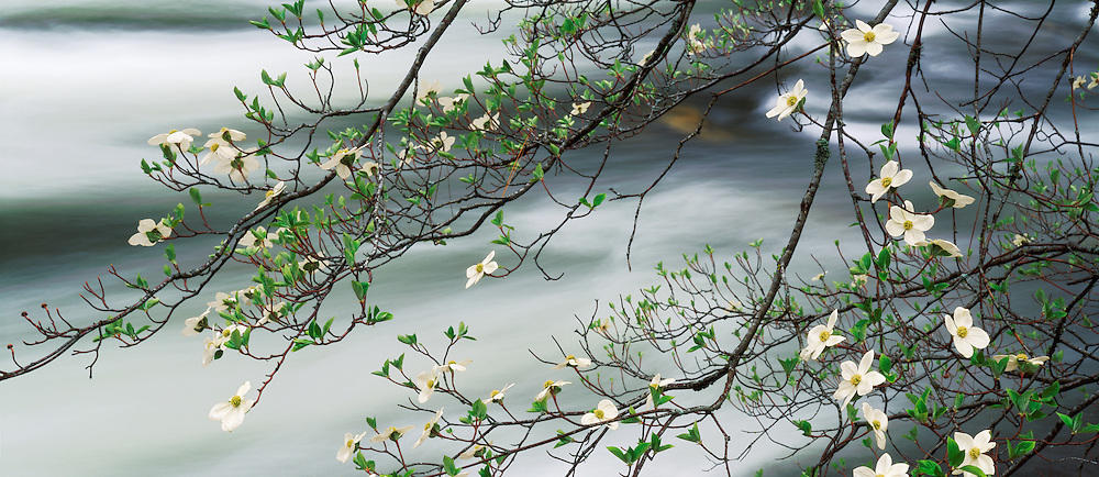 Dogwood in bloom and the Merced River, Yosemite National Park, California
