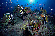 Longfin banner fish on a coral reef in Bligh waters in Fiji.