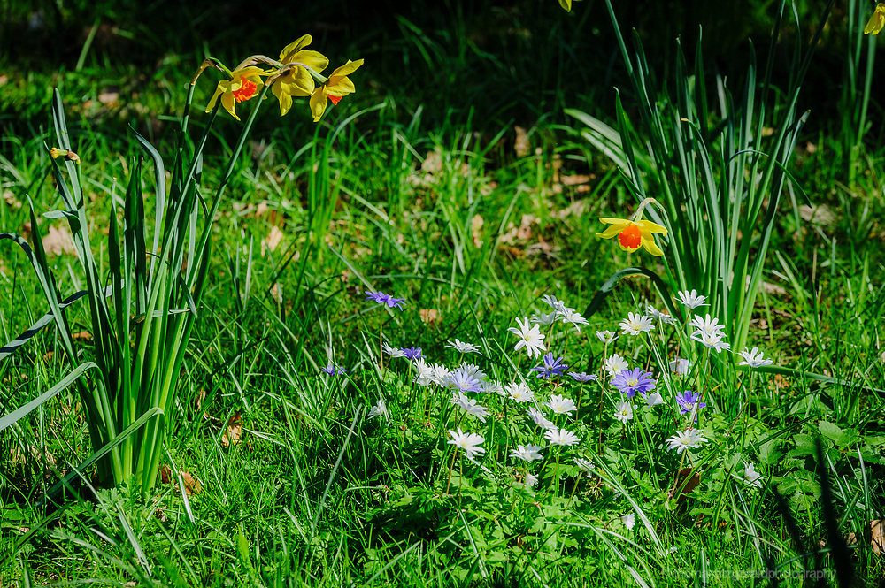 Spring flowers growing in a meadow, with grass and trees all around.