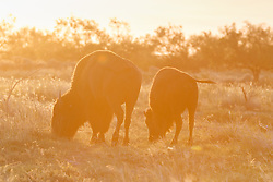 Backlit bison, Texas State Bison Herd, Caprock Canyons State Park, Quitaque, Texas USA.