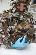 North American Beaver<br /> Castor canadensis<br /> Wildlife Rehabilitator, Jessie Lazaris holding one-month-old orphaned kit<br /> Sarvey Wildlife Care Center,  Arlington, Washington<br /> *Model release available