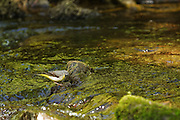 A grey wagtail peering into a woodland river, looking for insect larvae.