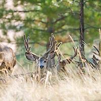 mule deer bucks velvet bachelor group bedded in native grass and pine forest montana