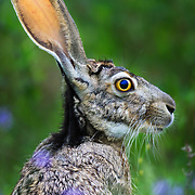 A portrait of a black-tailed jackrabbit in a meadow of South Texas.
