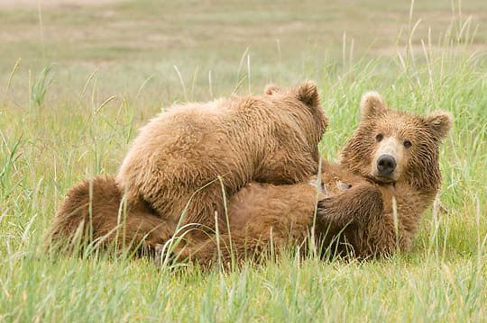 Alaskan Brown Bear (Ursus middendorffi) Nursing. Katmai National Park. Alaska.