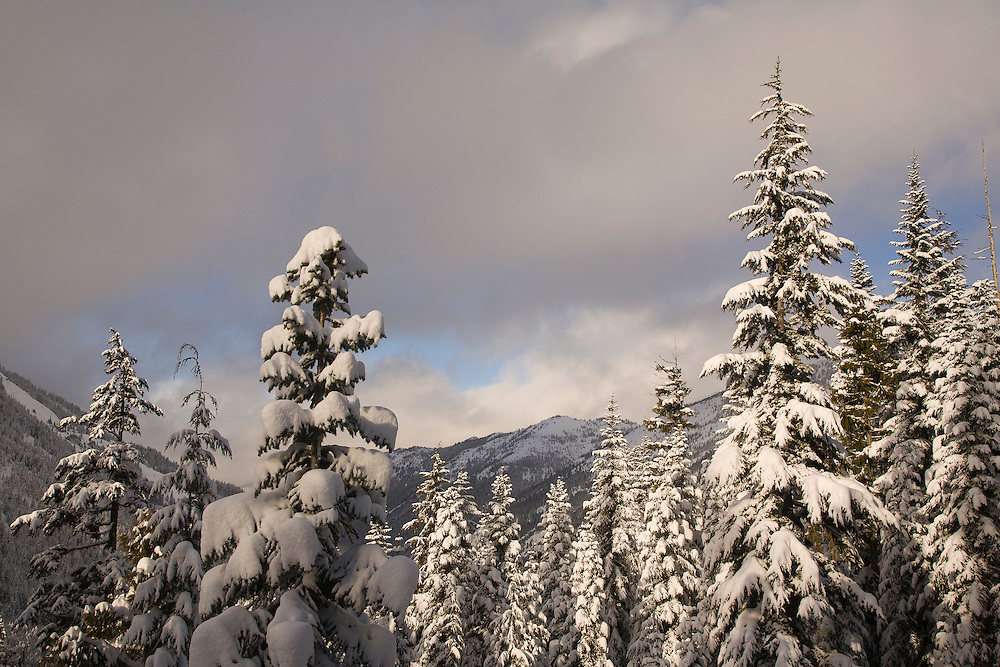 North America, United States, Washington,  snow-covered trees, viewed from Crystal Mountain Ski Resort.