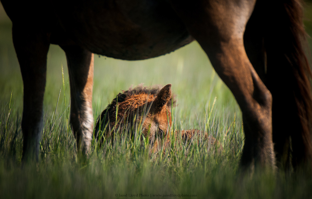 a newborn foal rest in the marsh grass framed by his mothers legs