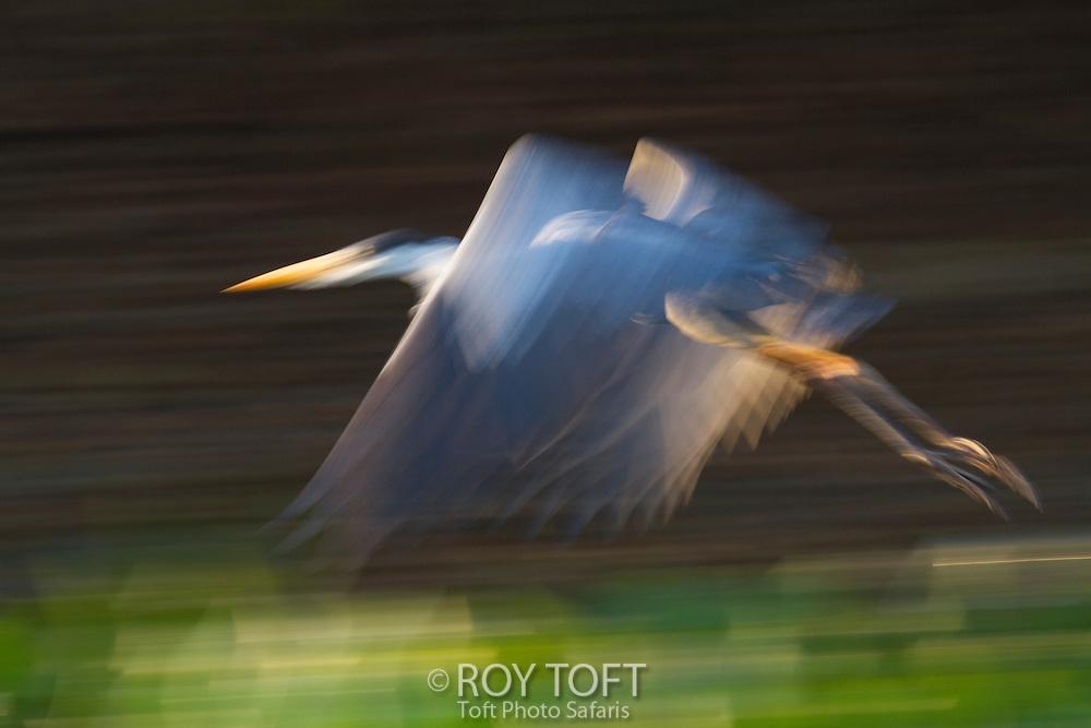 White-necked Heron or Cocoi Heron (Ardea cocoi), Pantanal, Brazil