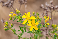 Common St. Johnswort is found in most places in North America except the coldest regions or the driest of deserts. It is traditionally used as an herbal medicine for treating depression. This was photographed near the Oregon-Washington border just north of the Columbia River in Washington's Klickitat County.