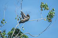 Brown-throated Three-toed Sloth [Bradypus variegatus]  clinging to cecropia tree in coastal estuary; Aviarios del Caribe Wildlife Sanctuary, Costa Rica