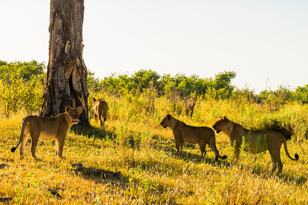 Female lions in the bush, Kwando Concession, Linyanti Marshes, Botswana.