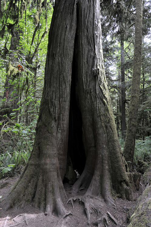 Douglas Fir trees in Cathedral Grove, part of MacMillan Provincial Park, near to Port Alberni, Vancouver, British Columbia , Canada