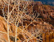 Sunrise light strikes orange and white hoodoos and fractal branches of a white barked tree in Bryce National Park, Utah, USA. Bryce is actually not a canyon but a giant natural amphitheater created by erosion along the eastern side of the Paunsaugunt Plateau. The ancient river and lake bed sedimentary rocks erode into hoodoos by the force of wind, water, and ice.