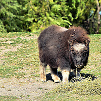 Muskox Calf at Zoo in Winnipeg, Canada<br /> This baby male muskox was born at the Assiniboine Park Zoo in Winnipeg on May 15, 2015. The gestation period for muskox is eight months. After two months of nursing, a calf begins to eat only vegetation. In the wild, a calf is expected to keep up with the heard within a few hours of birth. Their life expectancy is 12 to 20 years.