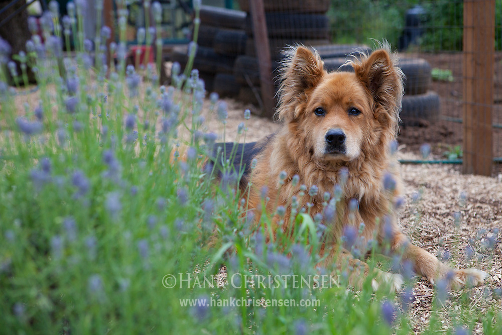 A dog poses in a flower garden