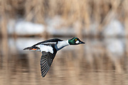 Common Goldeneye, Bucephala clangula, male, Brown County, South Dakota