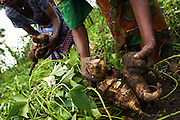 Maria Mchele (R) and Theresa Mathias (L) harvest sweet potatoes on a farm run by a local farmer's group in the village of Mwazonge, roughly 30km southwest of Mwanza, Tanzania on Sunday December 13, 2009..