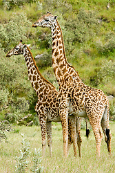Giraffes at Hell's Gate National Park lies south of Lake Naivasha, about 90 km from Nairobi, in Kenya  / Girafas no Parque Nacional Hell's Gate, no Quenia, a cerca de 90 km de Nairobi.