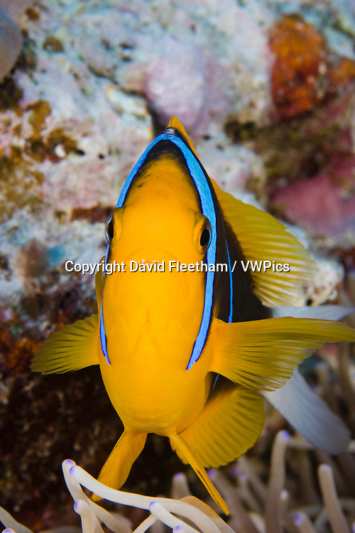 Clark's anemonefish, Amphiprion clarkii, in anemone, Yap, Micronesia..