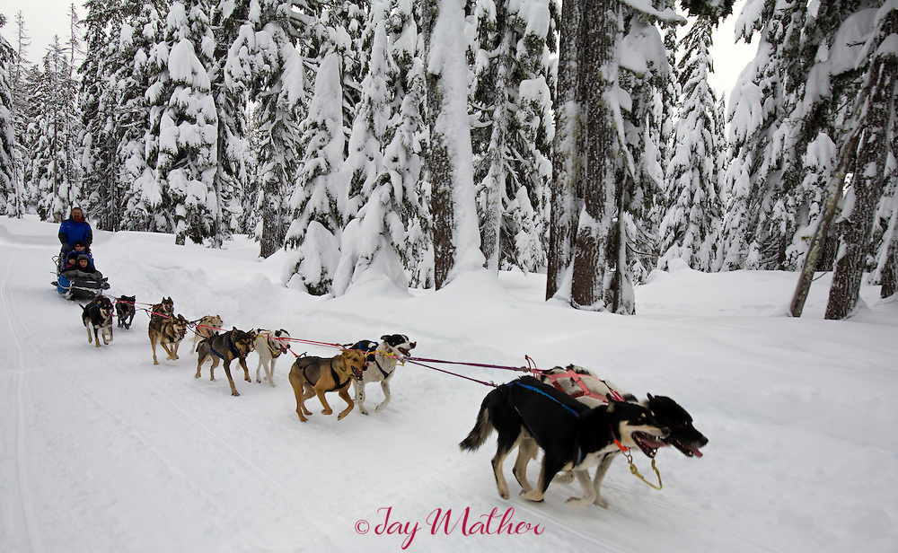 A team of Alaskan huskies pulls a sled through a snowy forest at Mt. Bachelor.  Jerry Scdoris, the musher, is the owner of the dogs which also will be used in the 2009 Iditarod race in Alaska...Mt. Bachelor ski area near Bend, Oregon offers dog sled tours on a daily basis.  The tour lasts about an hour and covers six miles through snowy forests.  The dogs, Alaskan huskies, are owned by Jerry Scdoris, of Alfalfa, OR.  Many of the dogs will be used in the 2009 Iditarod sled dog race in Alaska with Rachael Scdoris, Jerry's daughter who will be competing in her fourth race.
