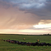 Cattle are rounded up at sunrise at the Bar B ranch near Albia, Iowa, in August, 2008.  Calves were roped and seperated from the herd for the bi-annual vaccinations, branding and the placement of growth stimulant implants.  The male cows were also castrated.  Owner Catherine Bay runs the operation with a herd of over 2,000 cattle.
