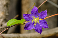 Clematis flower [cultivar) in garden; Indian Springs, Fremont County, Colorado