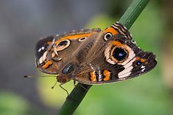 Common Buckeye (Junonia coenia) butterfly