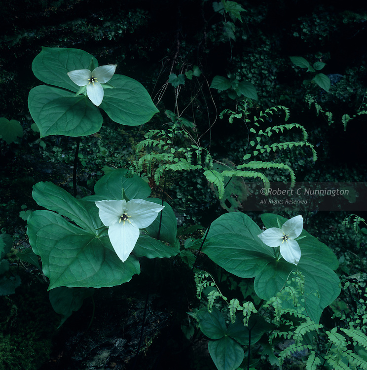 Sweet White Trilliums in the shelter of a rocky river bank. Great Smoky Mountains National Park, Tennessee, USA