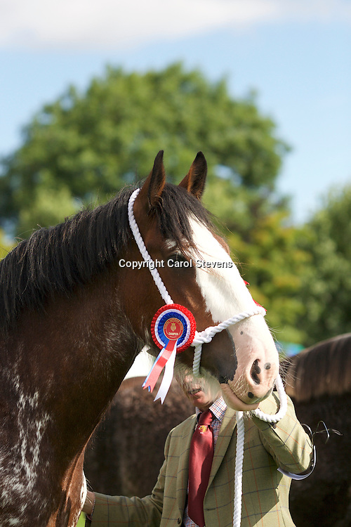 Mr D Willey's 5 yr old Bay Mare<br /> Becannon Duchess<br /> Sire  Great Americans Ben Franklin<br /> 1st  Mare, 3 yr old or over Class<br /> Champion Clydesdale