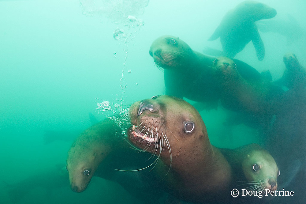 Steller's sea lions, or Steller sea lion, or northern sea lion, Eumetopias jubatus (an Endangered Species in the western part of its range, and Threatened in the eastern portion), releasing bubbles in a threat display, Glacier Island, Columbia Bay, Alaska, United States of America ( Prince William Sound )