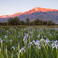 I was attempting to photograph the classic shot of the wild irises of Bishop. I came across a great field of wild irises as the alpenglow lit up the magnificent eastern sierras.