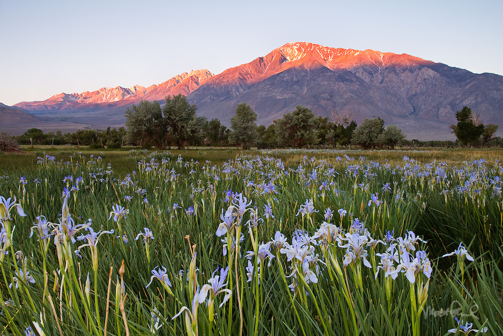 I was attempting to photograph the classic shot of the wild irises of Bishop. I came across a great field of wild irises near Round Valley outside of Bishop. Just in time as the alpenglow lit up the magnificent Mount Tom and the eastern sierras.