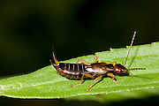 European Earwig; Forficula auricularia; on goldenrod leaf; PA, Philadelphia; backyard;