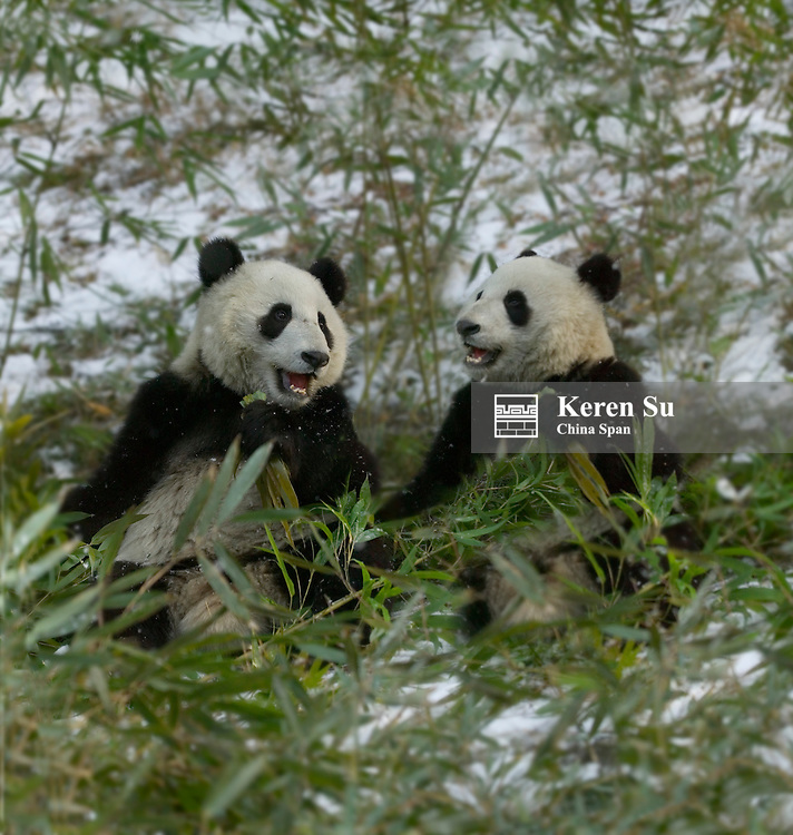 Two Giant pandas eating bamboo in snow, Wolong Panda Reserve, Sichuan Province, China