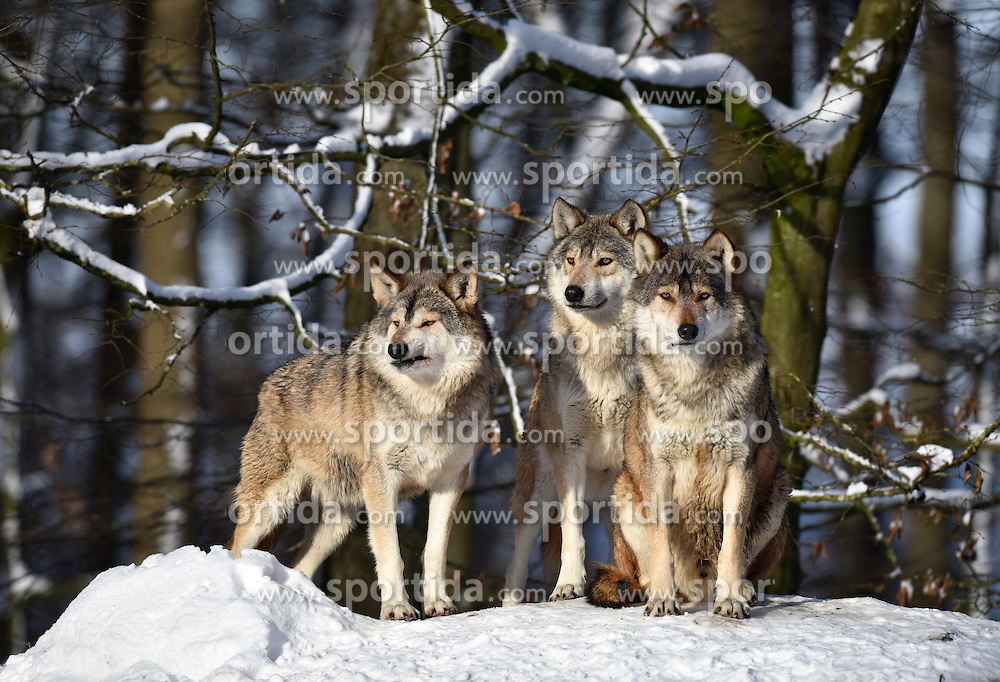 28.12.2014, Wildtierpark, Bad Mergentheim, GER, W&ouml;lfe im Wildtierpark Bad Mergentheim, im Bild 3 Woelfe halten Ausschau, Timberwolf, Kanadischer Wolf (Canis lupus occidentalis) im Schnee, captive // Wolves in the Wildtierpark in Bad Mergentheim, Germany on 2014/12/28. EXPA Pictures &copy; 2015, PhotoCredit: EXPA/ Eibner-Pressefoto/ Weber<br /> <br /> *****ATTENTION - OUT of GER*****