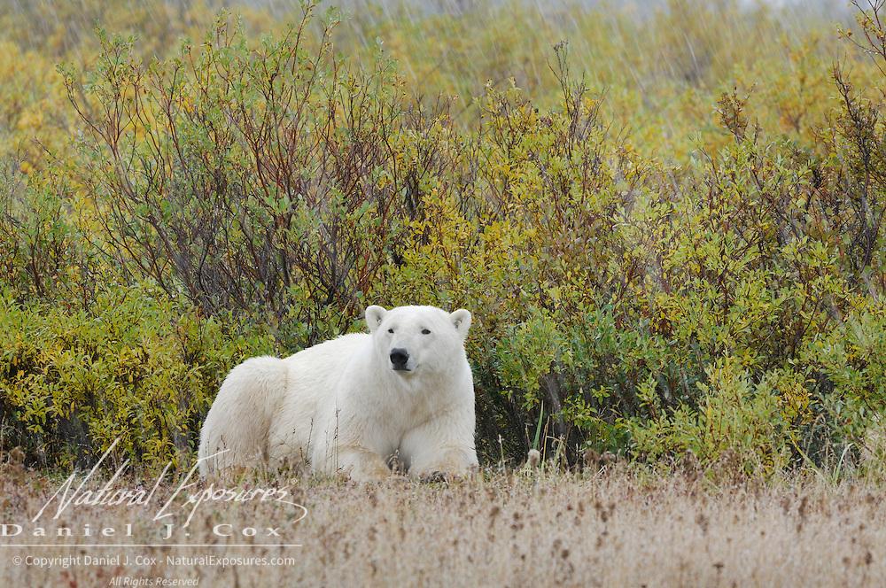 Polar Bear (Ursus maritimus) resting in Churchill, Manitoba, Canada.