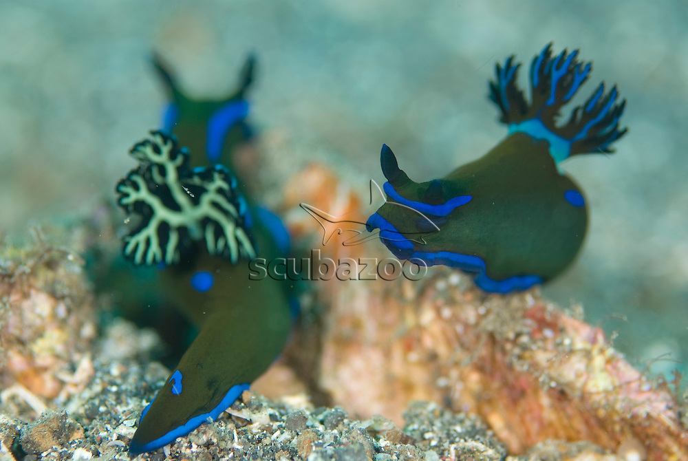 Pair of Nudibranch, Tambja morosa, KBR, Lembeh Strait, Sulawesi, Indonesia.